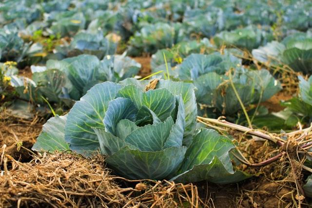 Harga komoditas pertanian kubis