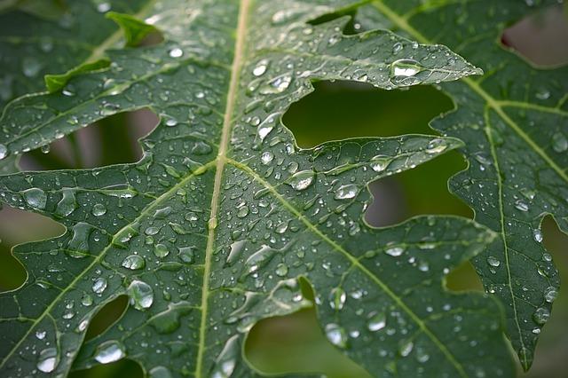 Gambar manfaat daun pepaya bagi kesehatan