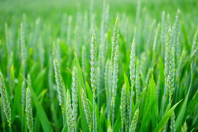 Gambar rumput gandum